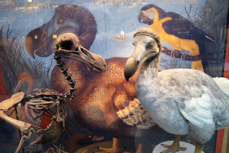 Dodos in the Natural History Museum
